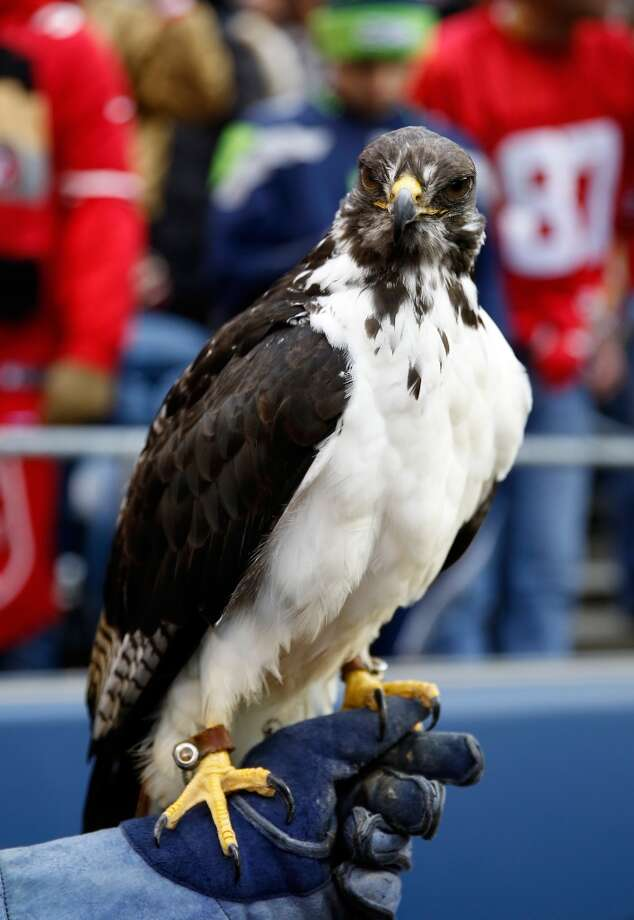 Taima the hawk is seen before the 2014 NFC Championship between the Seattle Seahawks and the San Francisco 49ers Photo: Otto Greule Jr., Getty Images