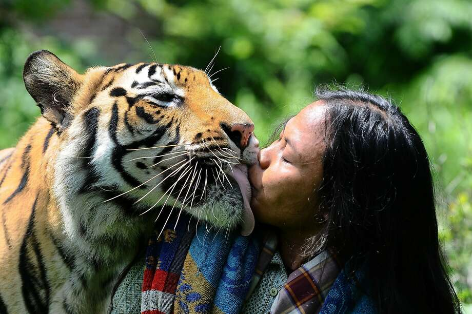 Did you have tuna for lunch by any chance? A Bengal tiger named Mulan Jamilah kisses his 33-year-old caretaker, Abdullah Sholeh, in the garden beside their home in Malang, Indonesia. Sholeh is an Islamic student who has become best friend and full-time nanny to the tiger. He regularly sleeps and plays with the huge tiger. Photo: Robertus Pudyanto, Getty Images