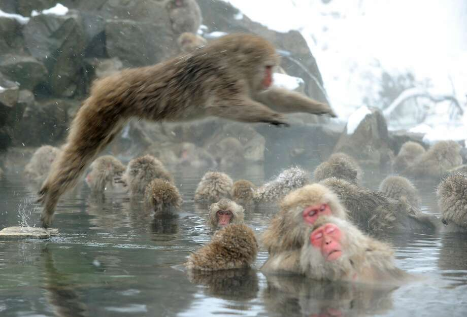 Look out below! Everyone was enjoying soaking in the open-air hot spring at Jigokudani Monkey Park in 