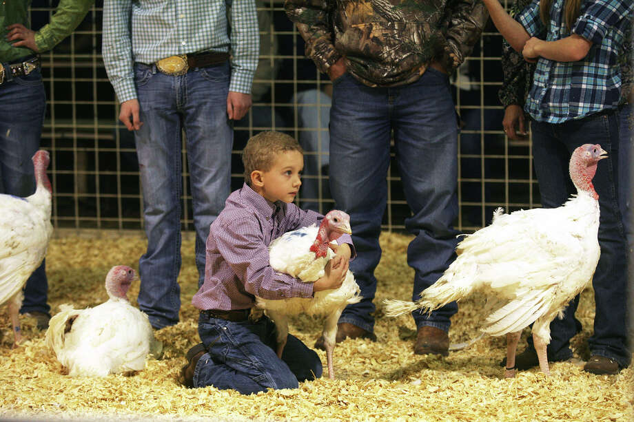Bo Schott, 8, catches his turkey tom Monday, Jan. 20, 2014, as it tries to run away during judging at the 41st annual Walter Gerlach Livestock Show held at the Gerlach Show Barn off of Babcock Road. This is the first year Bo has shown animals and he left winning fifth place for his tom. Photo: Cynthia Esparza, For The San Antonio Express-News / For the San Antonio Express-News