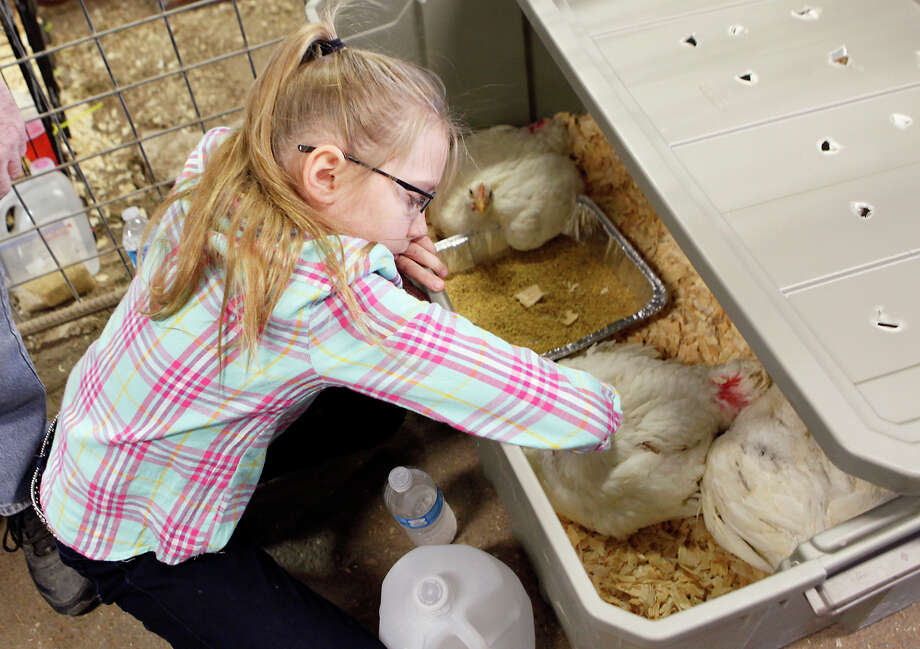 Grace Usborne, 9, pets chickens she was going to show at the 41st annual Walter Gerlach Livestock Show while waiting for the turkey portion of the poultry judging to be over. This is the first year Grace has shown animals. Photo: Cynthia Esparza, For The San Antonio Express-News / For the San Antonio Express-News