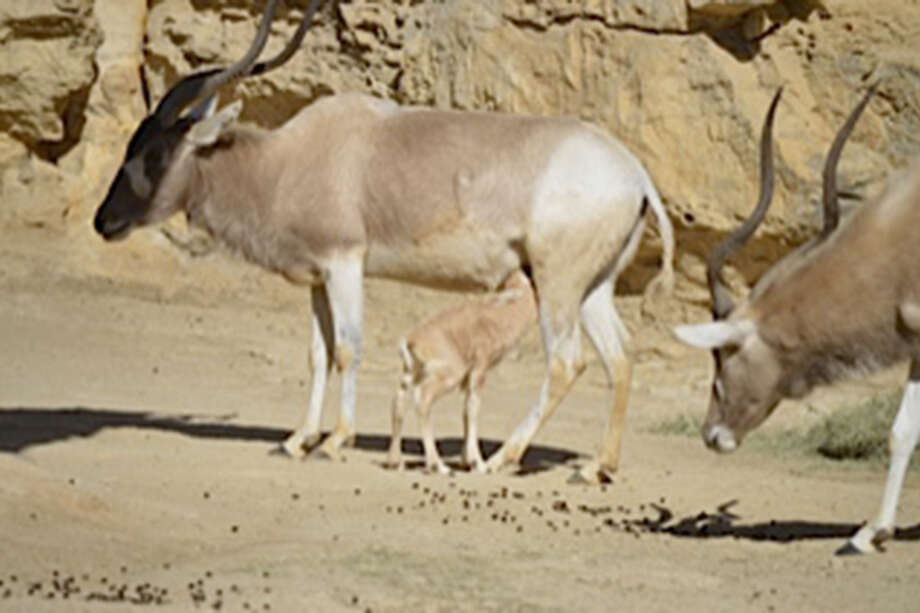 The baby addax nurses a few days after its birth at the zoo. The species is critically endangered. Photo: Courtesy Photo