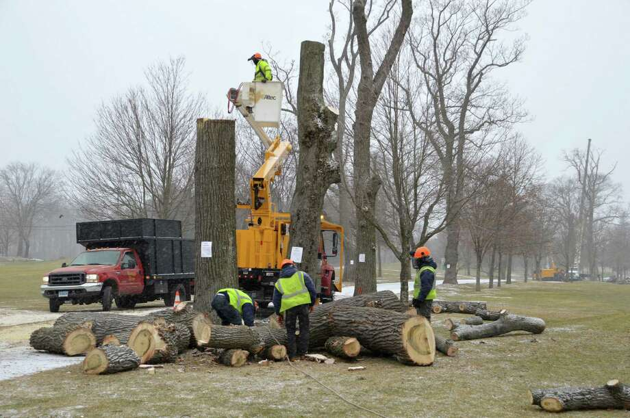 Crews at work Tuesday morning cutting down trees along the entrance to Longshore Club Park. The old trees hasd become damaged and diseased over the years, and became a safety risk, according to the tree warden. Photo: Jarret Liotta / Westport News contributed