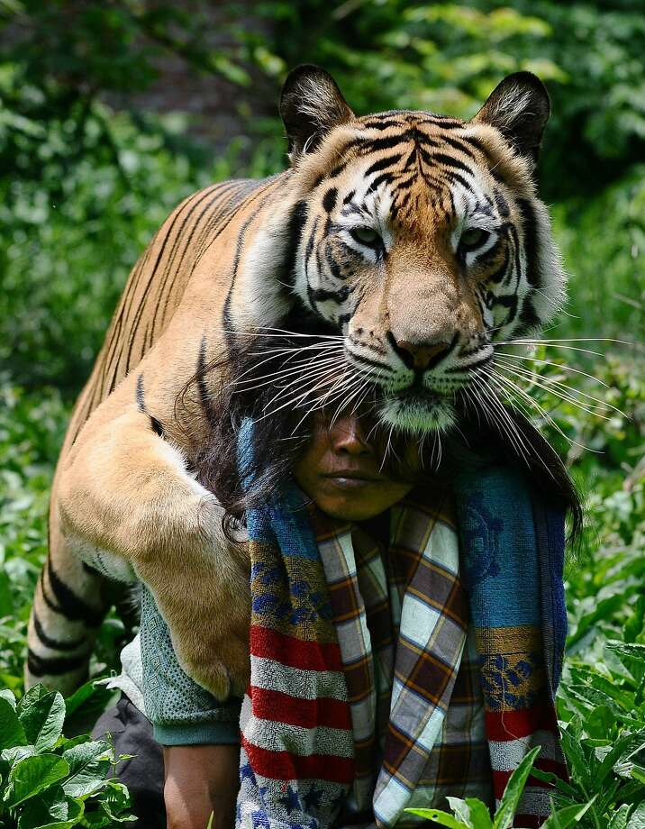 And now we know why the tiger kisses his caretaker: Free piggyback rides. (A Bengal and his caretaker in Malang, Indonesia.) Photo: Robertus Pudyanto, Getty Images