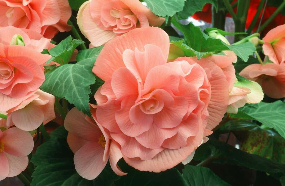 Dry winter storage, in the pot or in sawdust, gives you the best chance that begonia tubers will bloom again year after year. Photo: Pam Peirce