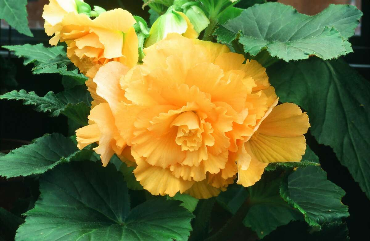 Dry winter storage, in the pot or in sawdust gives you the best chance that tuberous begonia tubers will bloom again year after year.