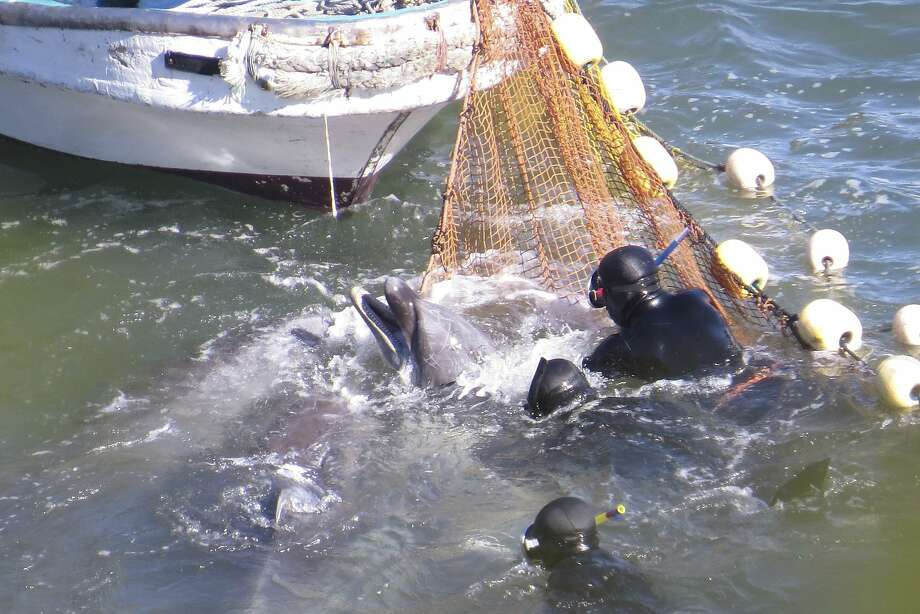 Japanese divers try to catch a bottlenose dolphin during the selection process in Taiji, Japan. Photo: Associated Press
