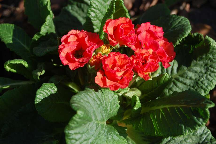 Primlets, a new line of primrose, come in a rainbow of colors. Grow in fertile, humus-rich, well-drained, lightly acidic soil in shade or partial sun. Photo: Erle Nickel