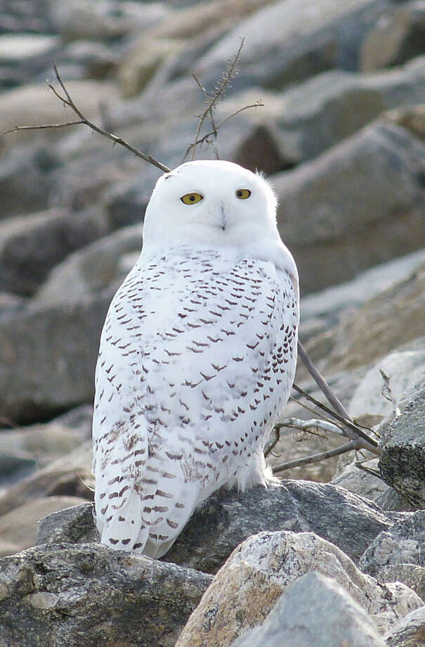 A Snowy Owl was spotted by Greenwich birder Shaun Martin off Byram Park. Photo: Contributed Photo / Greenwich Citizen