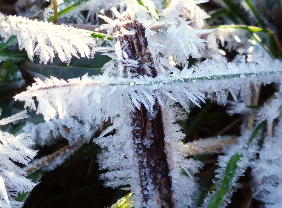 Among the readings: The temperature of these frost-coated leaves along Geronimo Creek was 11 degrees on Jan. 6. Photo: Forrest M. Mims III / For The Express-News