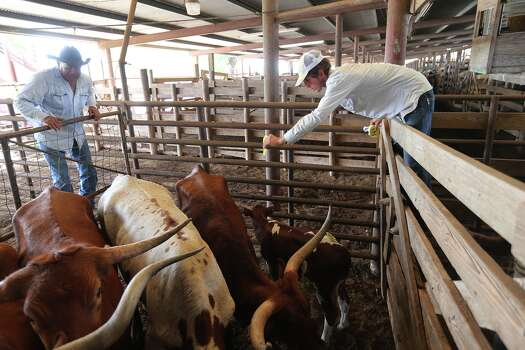 Henry Cruz, 50, left, and C.J. Lewis, 20, tag cattle at the Karnes County Livestock Exchange during the weekly cattle auction in Kenedy, Texas, Thursday, Sept. 5, 2013. Photo: JERRY LARA, San Antonio Express-News / © 2013 San Antonio Express-News