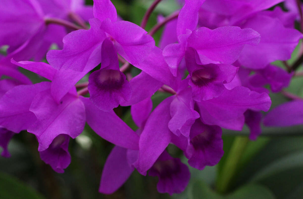 It's a hue Mother Nature adores, as seen in this orchid from E.D. Huntington Orchids and Tropicals.