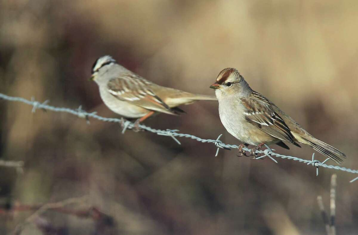 The Katy Prairie is known for more than 300 types of birds, including these white-crowned sparrows.