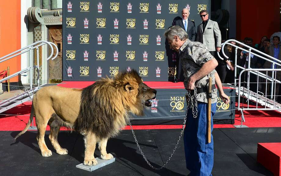 MGM lion makes his mark: Sylvester Stallone (right rear) and MGM Chairman and CEO Gary Barber watch from a safe distance as Leo the Lion 
