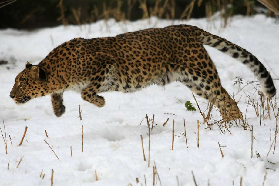 A big girl out on the prowl: A female leopard bounds in the snow inside an enclosure at Dachigam Wildlife Sanctuary near