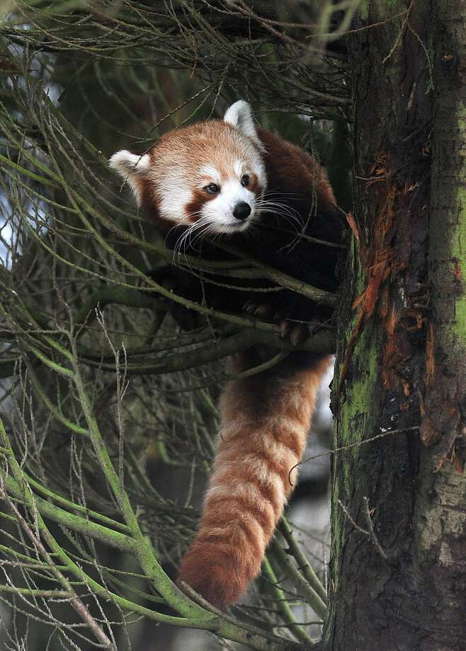 One of those fur trees: One can usually find Bai Jiao the red panda hanging out in his favorite tree at the Flamingo Land Zoo in Pickering, England. Photo: Anna Gowthorpe, Associated Press