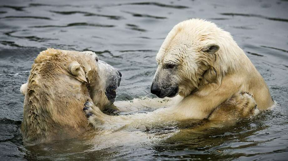 Polar opposites: Freedom and Viktor cuddle each other upon their reunion at the Ouwehands Zoo in Rhenen, Netherlands. Viktor was separated from Freedom for three years after her cubs were born because male bears sometimes harm their little ones. Photo: Remko De Waal, AFP/Getty Images