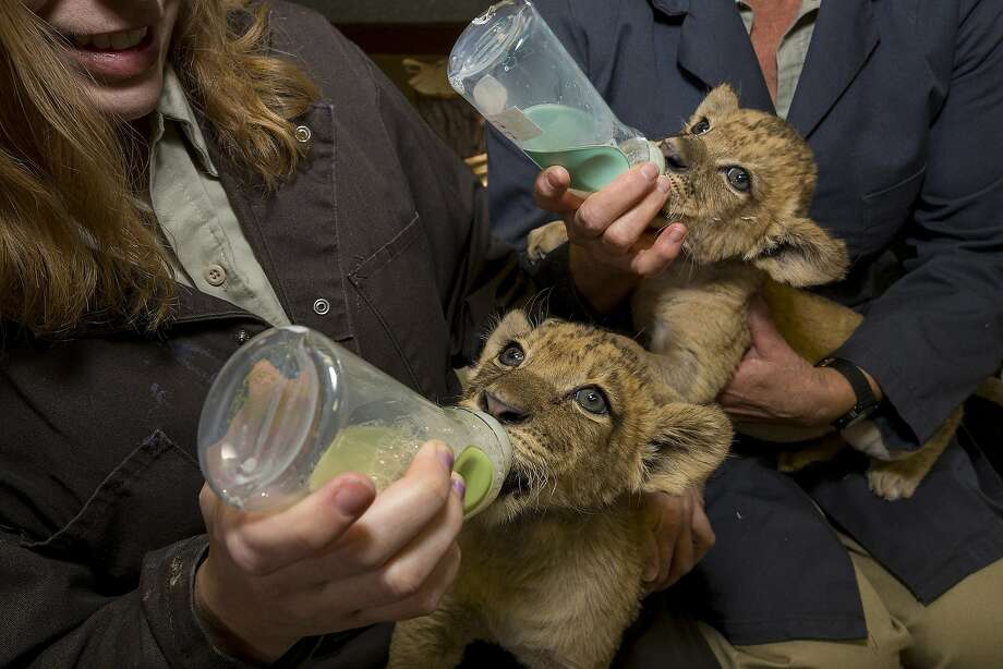 And the winner of the San Diego Zoo Safari Park chugging contest is ... It's shaping up to be photo finish for a pair of 6-week-old heavy drinkers. The lion cubs are fed and burped about every three hours. The rest of the time they mostly sleep. Photo: Ken Bohn, Associated Press