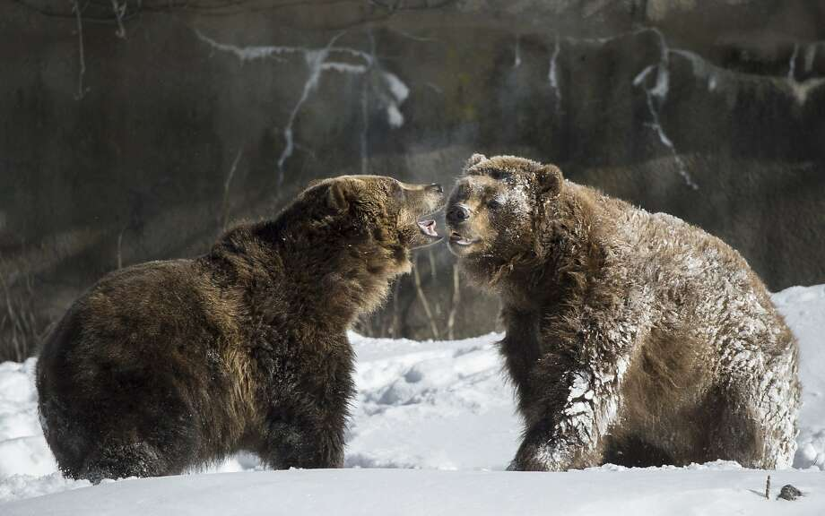 How to turn a brown bear into a polar bear:A couple more rolls in the snow should do it. (Bronx Zoo, New York.) Photo: Julie Larsen Maher, Associated Press