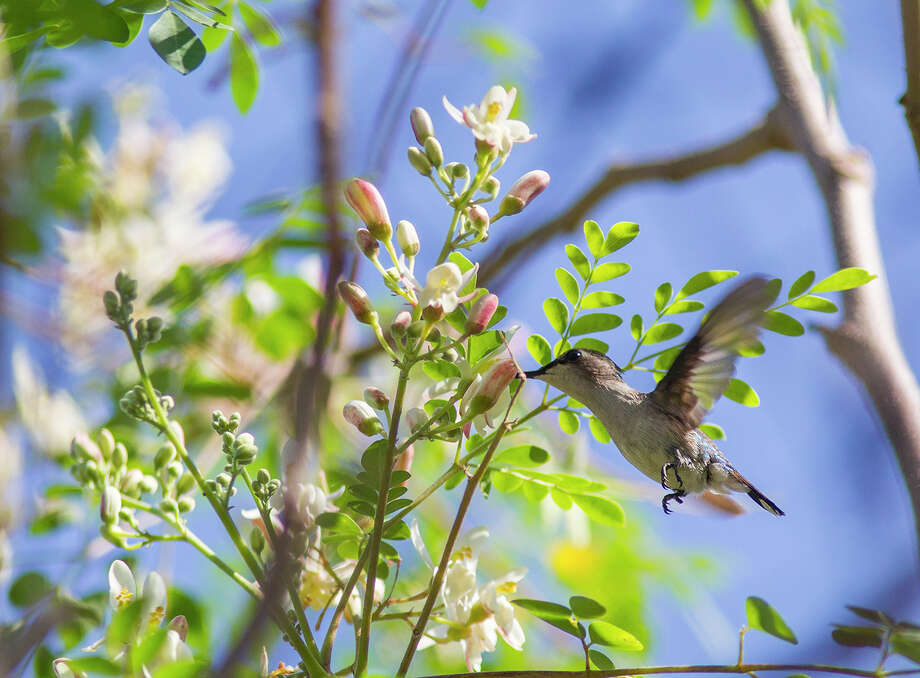 The bee hummingbird of Cuba is the smallest bird in the world at 2 inches long. It feeds on tiny nectar-rich flowers along hedgerows. Photo: Kathy Adams Clark / Kathy Adams Clark/KAC Productions