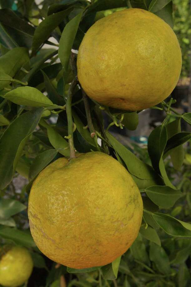 Shop for citrus at weekend fruit sales. Chronicle file photo Photo: Bill Olive, Freelance / Freelance