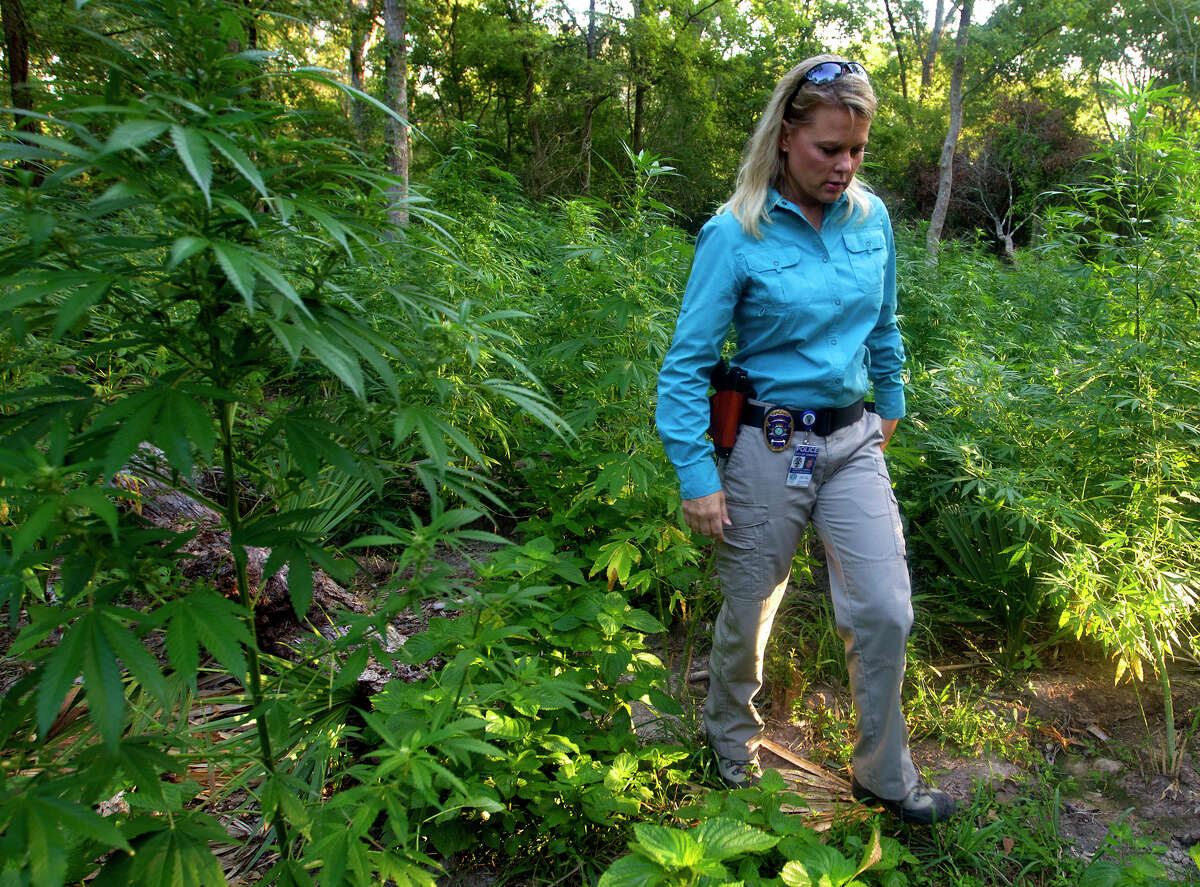 Conroe Police Department Public Information Officer Dorcy Riddle stands amongst 10 to 20,000 Marijuana plants wait to be cut down by authorities Wednesday, Aug. 21, 2013, in Conroe. Investigators found the plants, but no suspects, through undisclosed procedures with the help of different agencies. They plan to cut them down and incinerate them after they're dried. (Cody Duty / Houston Chronicle)