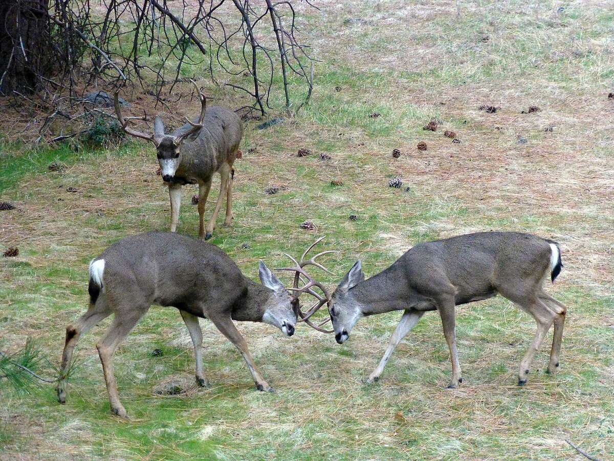 To the winner goes . . . maybe another fight . . . two bucks lock horns at Yosemite National Park while an older, bigger buck looks over the competition