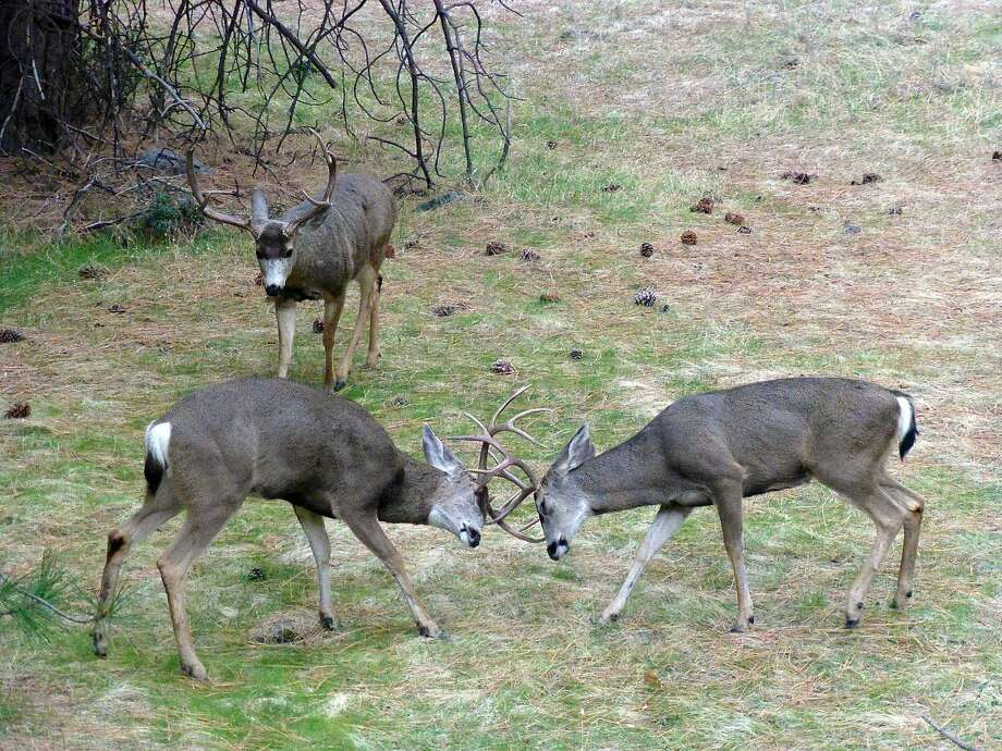 In a photo captured by a trail camera, two younger bucks lock horns at Yosemite National Park while an older, bigger buck looks over the competition. Photo: Chris Salmson