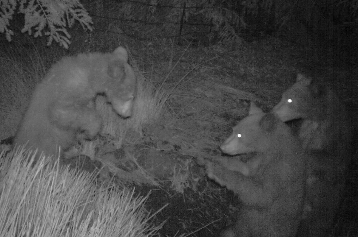 Your deal -- trail cam, motion-activated camera, captures shot of three bears sitting upright in a circle, looking like they are playing cards, on ranch near Laytonville in Mendocino County