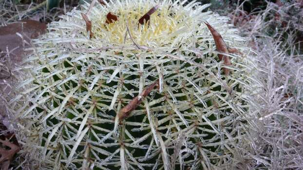 Ice covers a cactus in San Antonio Friday morning, Jan. 24, 2014. Photo: John Gonzalez/San Antonio Express-News