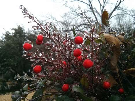 A frozen nandina in the Monticello Park area. Photo: Jennifer Hiller/San Antonio Express-News