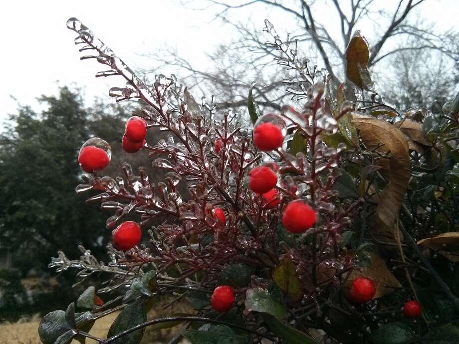 A frozen nandina in the Monticello Park area. Photo: Jennifer Hiller/San Antonio Express-News