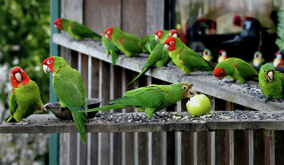 Look for the wild parrots on Telegraph Hill. Photo: Brant Ward, The Chronicle / ONLINE_YES