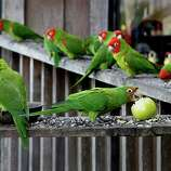 Look for the wild parrots on Telegraph Hill.