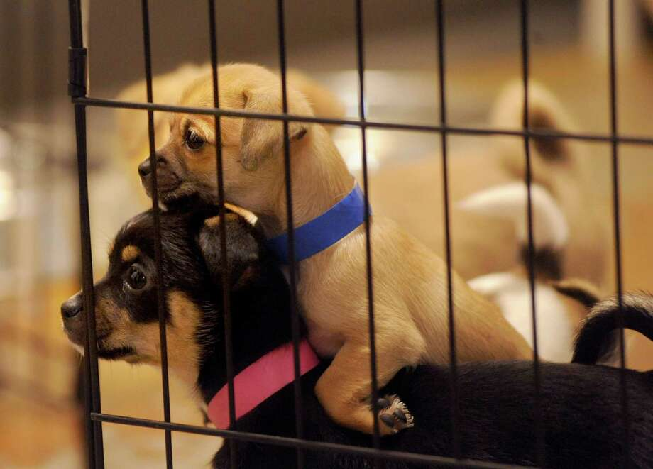 Visit the kittens and puppies at the SFSPCA. Photo: Noah Berger, Special To The Chronicle / SFC