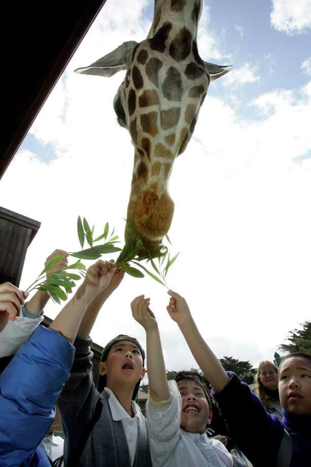 Watch the 4 p.m. giraffe feeding at the San Francisco Zoo. Photo: Katy Raddatz, SFC