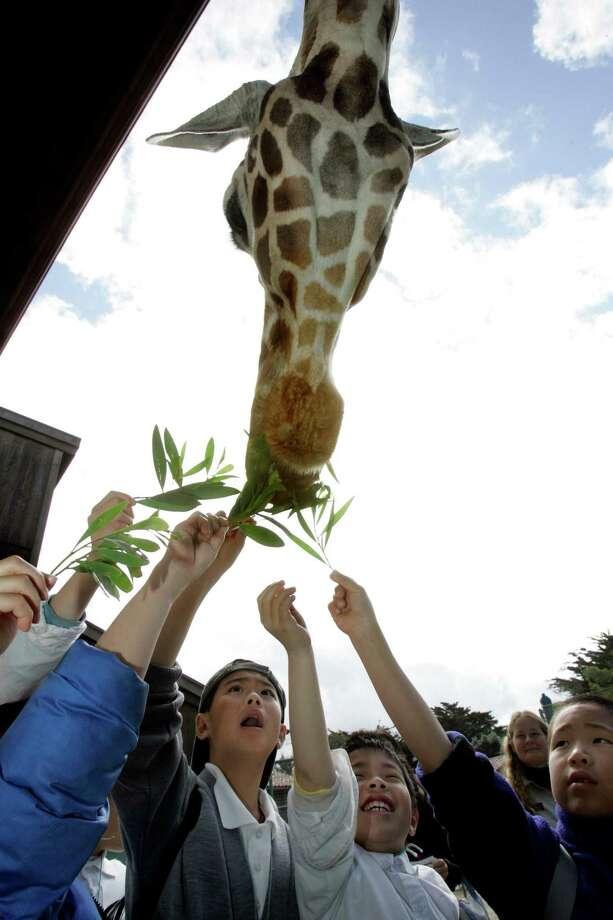 Watch the 4 p.m. giraffe feeding at the San Francisco Zoo. Photo: Katy Raddatz, SFC / The Chronicle