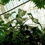 Marvel at the 100-year-old giant Imperial Philodendron inside the Conservatory of Flowers in Golden Gate Park.