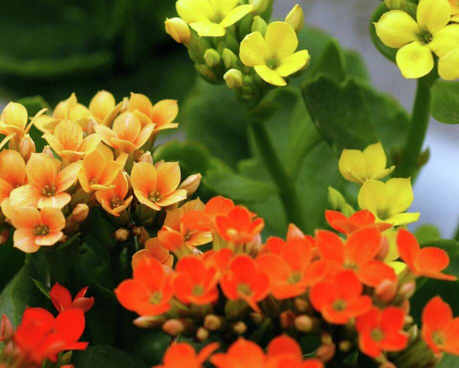 Kalanchoes can be forced back into bloom by carefully controlling the light the plants receive. Photo: Courtesy Neil Sperry