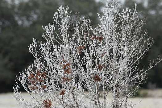 Brush holds frozen precipitation as ice covers the countryside north of New Braunfels on January 24, 2014. Photo: TOM REEL