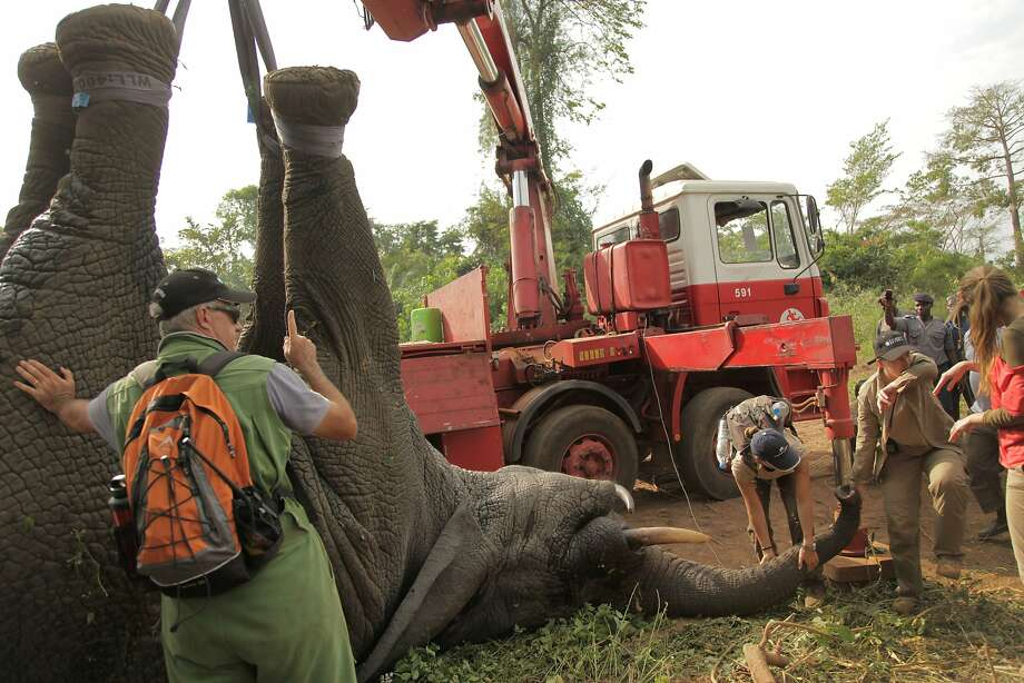 How does one transport an elephant?In the Ivory Coast town of Daloa, it took a flatbed truck with a crane, a large crate and a few industrial-size tranquilizer darts. Ivory Coast conservationists have been relocating elephants captured in habitats facing human encroachment. This pachyderm slept through a 10-hour drive to Assagny National Park on the southern coast. Photo: Ifaw, Associated Press