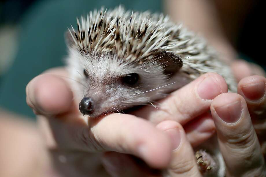 By the pricking of my thumbs, something thorny this way comes. Namely a hedgehog, one of the exotic, nonnative pets that Florida is trying to keep from being released into the wild. Instead, the state Fish and Wildlife Conservation Commission is asking owners who can no longer care for their pets - or no longer wish to keep them - to turn in the critters free of charge with no penalties. (Fort Lauderdale.) Photo: Joe Raedle, Getty Images