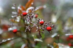A frozen nandina off Burr Road. Icy conditions caused school and road throughout the area on Friday Jan. 24, 2014.