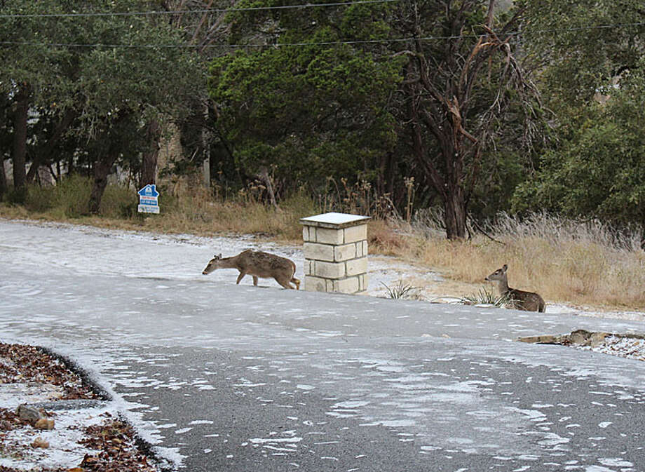 It was 25 this morning in Canyon Lake. Here are some deer keeping their footing on the grass and gravel. Photo: Reader Photo/Bruno Torres