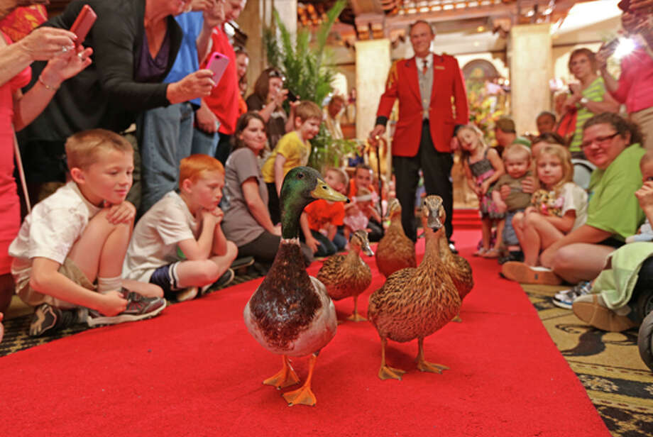 Peabody Ducks march down the red carpet. The ducks are a staple at the iconic Memphis, Tenn. hotel.