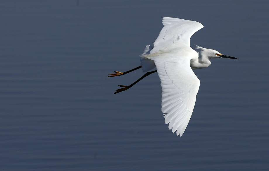 A snowy egret soars above the marshes at Big Break Regional Shoreline, on the site of a former scrap yard for old boats. Photo: Michael Macor, The Chronicle
