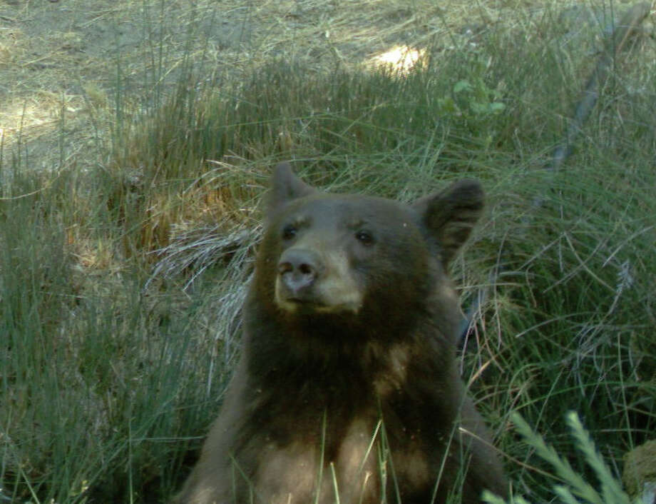 Curious bear heard the shutter click, but can't seem to locate the source of the noise, Mendocino National Forest. Photo by Jo Ann Herr Photo: Jo Ann Herr
