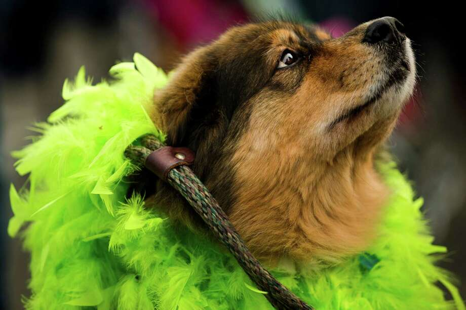 Zoe, an Australian Shepherd mix dog decked out in Hawks colors, awaits the Seahawks team buses on their way to the airport en route to New York for Super Bowl XLVIII Sunday, Jan. 26, 2014, in SeaTac. Photo: JORDAN STEAD, SEATTLEPI.COM / SEATTLEPI.COM