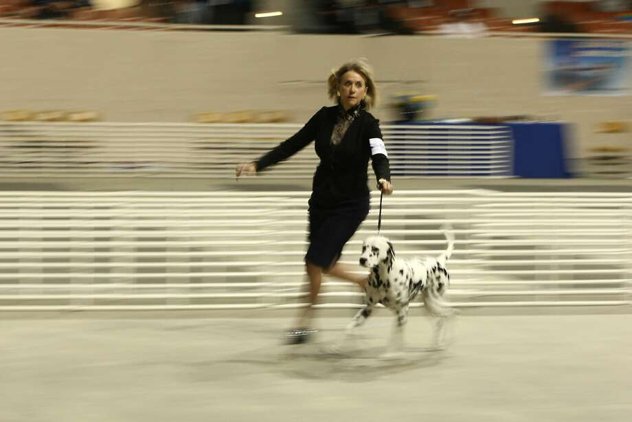 Linda Sexton of Redwood City and her 1-year-0ld Dalmatian, Mac, compete at the Golden Gate Kennel Club's dog shows. Photo: Andre Zandona, The Chronicle