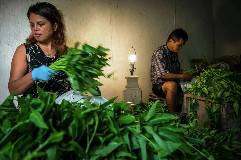 Farmers Phalanie and Peter Sar clean and bundle water spinach for transport to market on Thursday, A